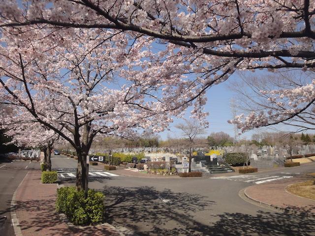東京多摩霊園−基本−霊園全体(墓域と桜)