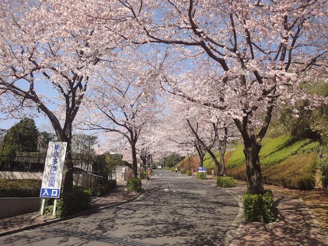 東京多摩霊園−入り口の桜並木